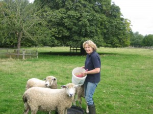 Feeding my Cotswold ewes