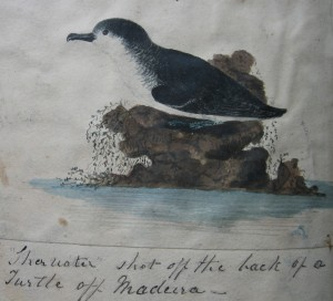The Shearwater off Madeira