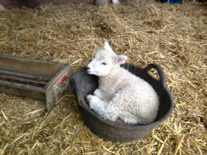 Lamb in a basket with a difference!