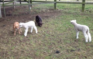 'Those are the strangest looking lambs!'