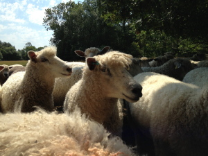 The Queenford Flock